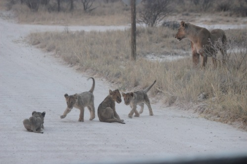Lion Cubs arrival at Onguma Game Reserve