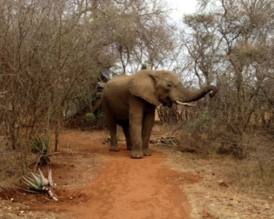 Elephant on your doorstep at Jaci's Safari Lodge