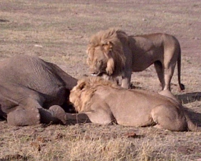 Lions kill elephant at Madikwe Game Reserve