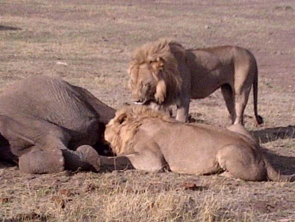 Lions kill elephant at Madikwe Game Reserve