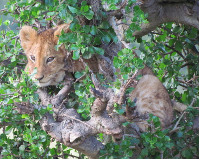 Lion Cub Rescue in the Masai Mara