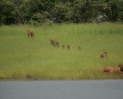 A Clash of the Big Toothed Beasts at Musango, Lake Kariba