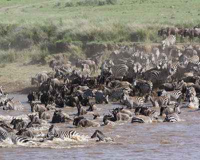 The wildebeest migration has arrived at Governors' Camp