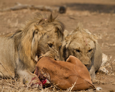 Robin Pope Safaris celebrates World Lion Day