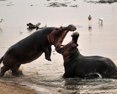 Tena Tena Camp's Hippo Frenzy