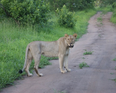 The Lioness Queen of Majete, at Mkulumadzi Lodge