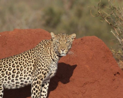 A Leopard Stalks its Prey at Jaci's Lodges
