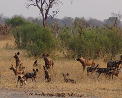 The Wild Dogs of Hwange, at The Hide Safari Camp