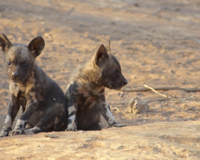 Madikwe Game Reserve's Wild Dog Pups!