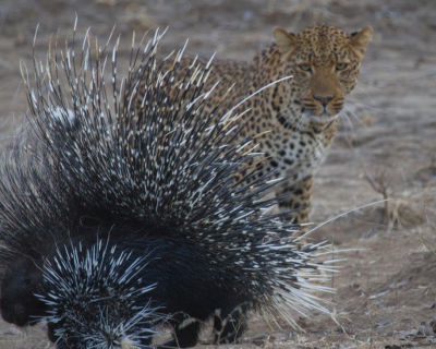 Leopard invites Porcupine to Breakfast at Tena Tena, Zambia