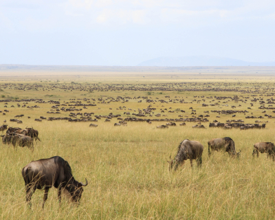 100,000 wildebeest at Governors' Camp
