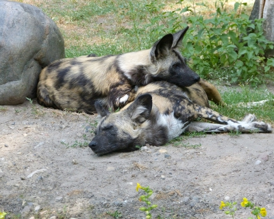 Wild dog conservation at Cottar's Camp
