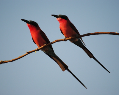 Birding bonanza at Changa Safari Camp