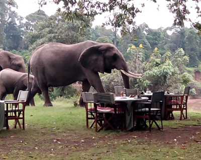 Elephants join Governors' Camp for breakfast!