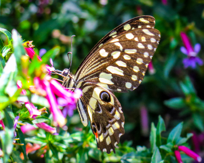 The Butterflies are about at Cottars Camp