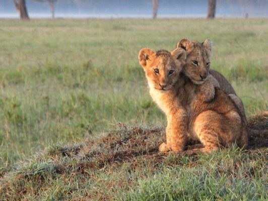 lions Lost cub is hugging her brother - PR 28