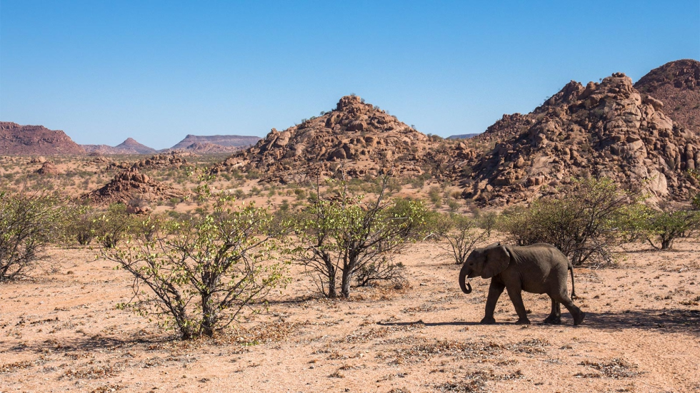 Desert Dwelling Elephants at Mowani Mountain Camp