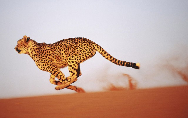 (Note: Photo is not of the mentioned cheetah. Source: http://bit.ly/1M6gSei)