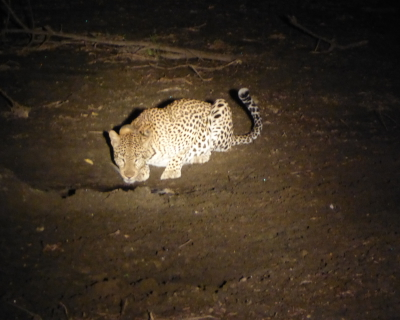 Lion cubs and leopards at Mkulumadzi