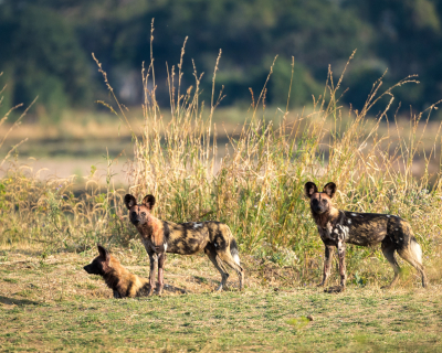 21 Wild Dogs at Tena Tena
