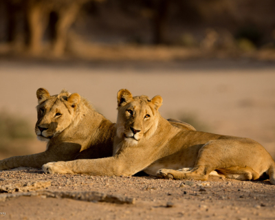 Tracking the Desert Lions at Okahirongo Elephant Lodge