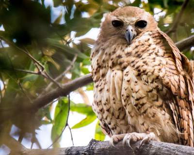Pel's Fishing Owl at Pumulani