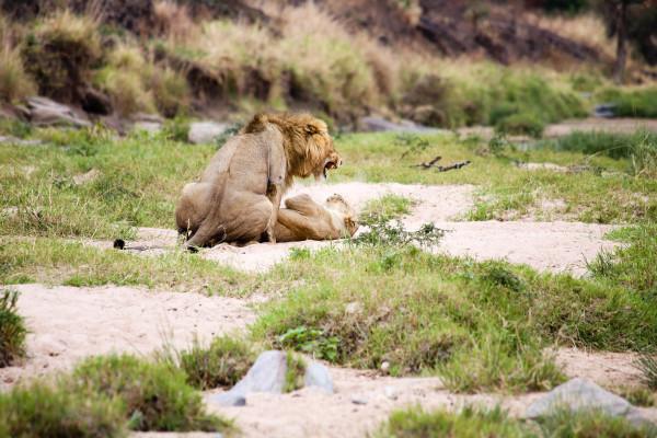 Lions mating in the Masai Mara