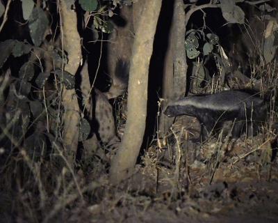 Honey Badger vs. Hyenas at Tena Tena