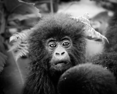 Gorilla Trekking with Sabyinyo Silverback Lodge