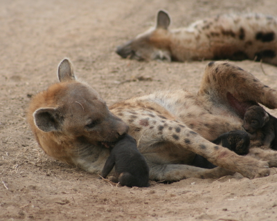 Lion kills and hyena births at Tena Tena