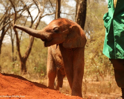 Baby Elephant Rescue Mission at Governors' Camp