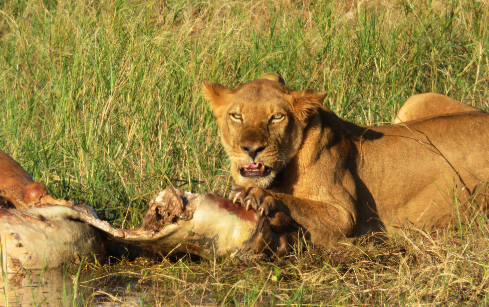 Lions with a taste for Hippo at Changa