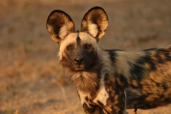 wildlife at John's Camp, Zimbabwe