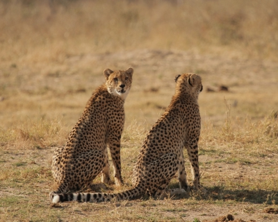 Cheetah, cheetah everywhere at The Hide