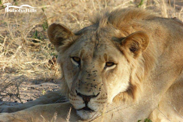 Lion at Ghoha Hills