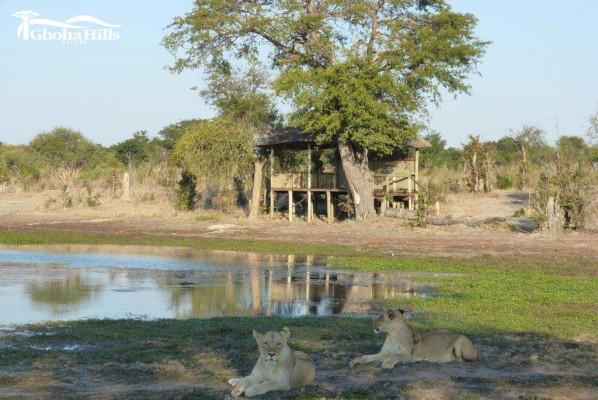 Lions at Ghoha Hill Waterhole