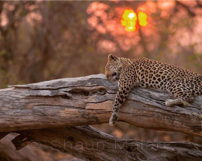 Lions and Leopards at Machaba