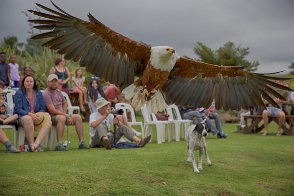Falcon Ridge Raptor Display