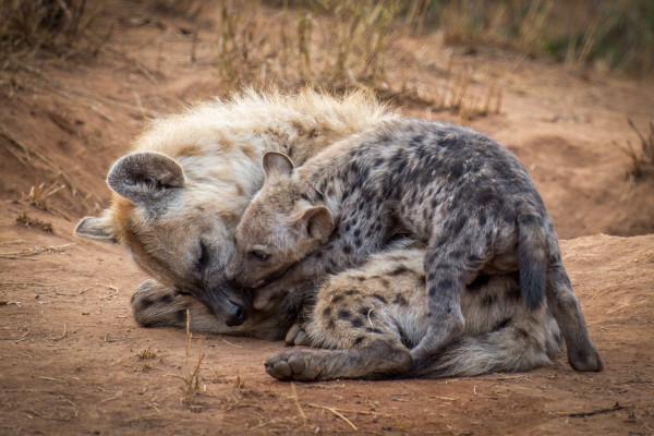 Hyena mother and cub at Garonga Safari Camp