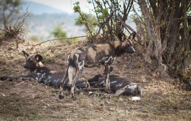 Wild dogs in the masai mara