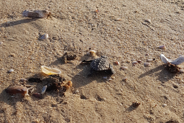 Baby turtle at Anvil Bay