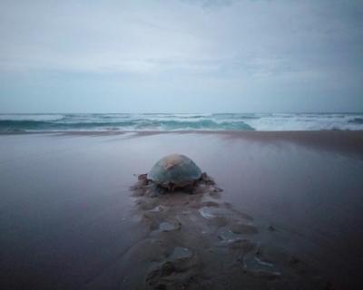 Turtle Season at Anvil Bay
