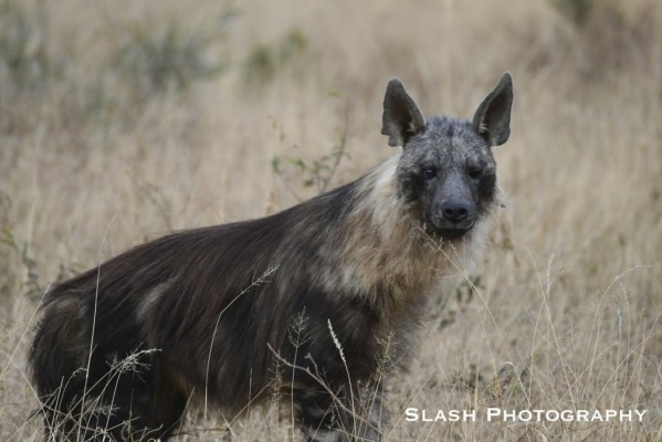 Brown Hyena (1)