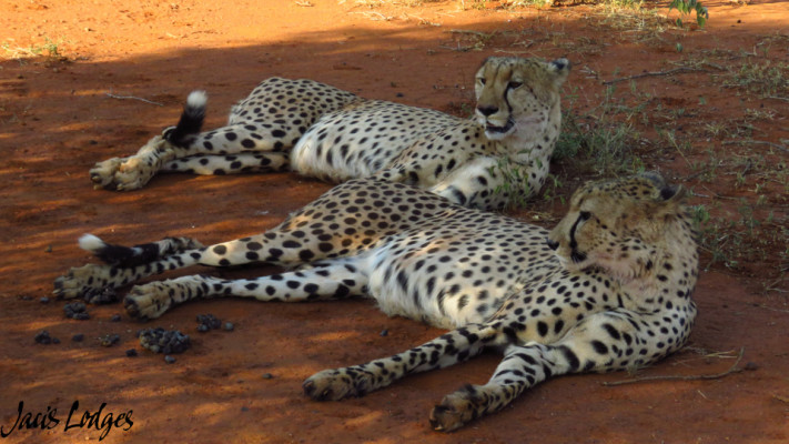 Cheetahs in Madikwe