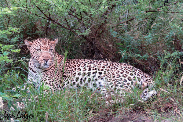 Leopard at Madikwe