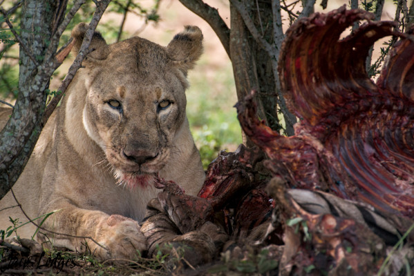 Lioness on a kill at Jaci's safari Lodge