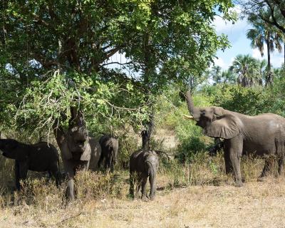 'Drunk' Elephants at Mkulumadzi