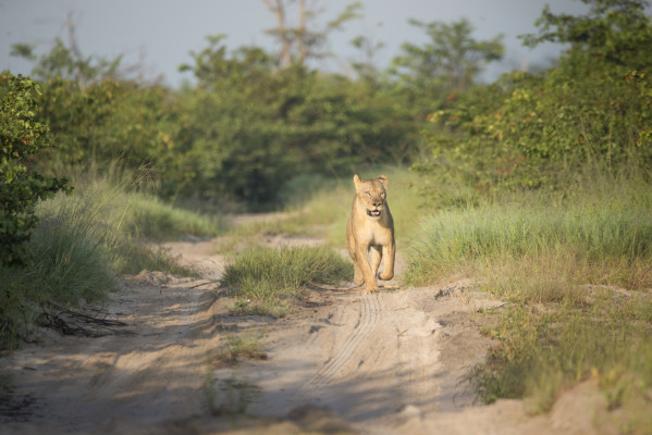 Lioness at Ghoha Hills