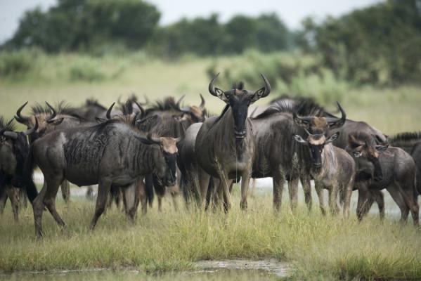 Wildebeest at Ghoha Hills Savuti Lodge