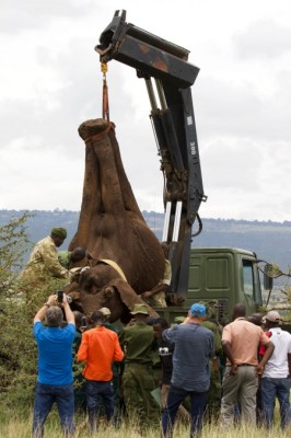 Tranquillised elephant lifted onto flatbed tralier